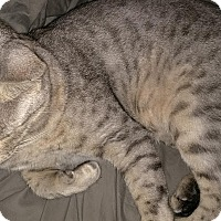 Bengal Cat for adoption in Dallas, Texas - 2 Silver Tabbied Bengals