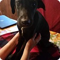 Adopt A Pet :: Brewski - Charlestown, RI