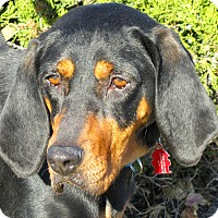 Coonhound Mix Dog for adoption in Overland Park, Kansas - June Bug