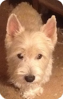 Westie, West Highland White Terrier Dog for adoption in Rye, New Hampshire - Branson