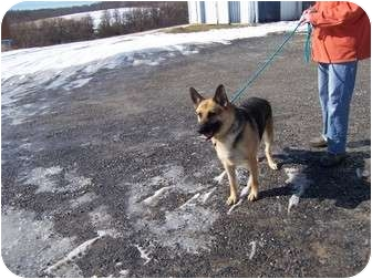 German Shepherd Dog Dog for adoption in Tully, New York - YANA