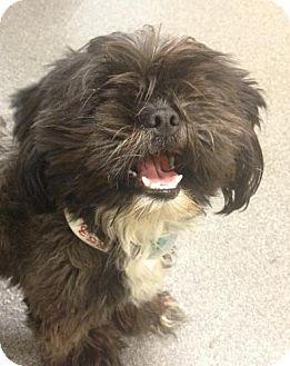 Shih Tzu Puppy for adoption in Lancaster, Ohio - Oscar