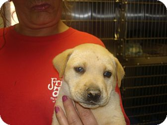 Labrador Retriever Mix Puppy for adoption in baltimore, Maryland - Curly