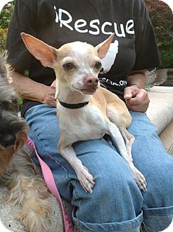 Chihuahua Dog for adoption in Long Beach, New York - Tiny Tony