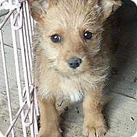 Adopt A Pet :: Scruffy Puppy Brown - Fowler, CA