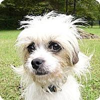 Adopt A Pet :: Spritzy - Mocksville, NC