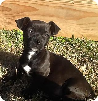 french bulldog chihuahua mix puppies