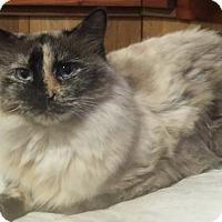Adopt A Pet :: Mia (Siamese mix) - Witter, AR
