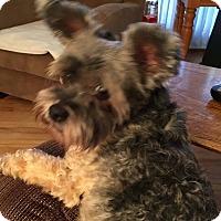 Adopt A Pet :: Charlie (PA) - Gilford, NH