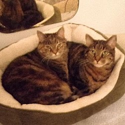 Photo 2 - Domestic Shorthair Cat for adoption in Watkinsville, Georgia - Mo