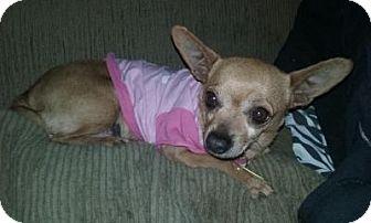 Chihuahua Mix Dog for adoption in Hurricane, Utah - Lucy - Cedar City