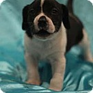 Adopt A Pet :: Bessie Pup Bagel