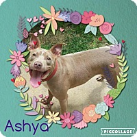 Adopt A Pet :: Ashya - Columbia, MD