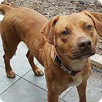 Vizsla Mix Dog for adoption in Houston, Texas - Tank
