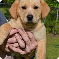Adopt A Pet :: Blitz - Washington, DC