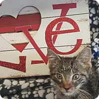 Domestic Shorthair Kitten for adoption in Houston, Texas - PACKEY