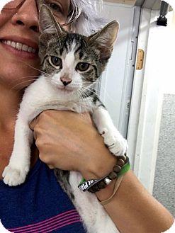Domestic Shorthair Cat for adoption in Covington, Kentucky - Pidgey