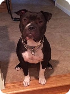 Pit Bull Terrier Mix Dog for adoption in Chalfont, Pennsylvania - Winnie