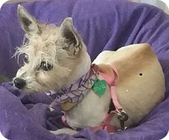 Jack Russell Terrier Mix Dog for adoption in Creston, California - Gracie