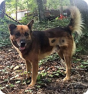 Shepherd (Unknown Type) Mix Dog for adoption in Columbia, South Carolina - Brownie