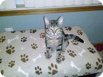 Domestic Shorthair Kitten for adoption in Warren, Michigan - Sterling
