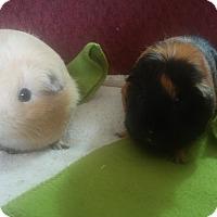 Guinea Pig for adoption in San Antonio, Texas - Pearl & Pixie