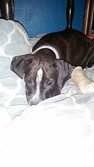 American Pit Bull Terrier/Boxer Mix Dog for adoption in Scottsdale, Arizona - Aruba