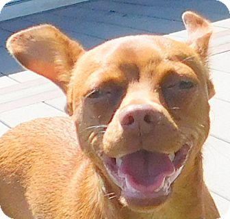 Terrier (Unknown Type, Small) Mix Dog for adoption in MINNEAPOLIS, Kansas - Rocket