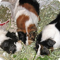 Guinea Pig for adoption in Monrovia, Maryland - Buffy, Lucy & Jewel