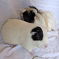 Adopt A Pet :: Benjamin and Dervickles - Alexandria, VA