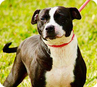American Staffordshire Terrier Mix Dog for adoption in Calgary, Alberta - Tulip
