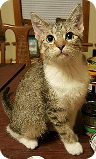 Domestic Shorthair Kitten for adoption in Chicago, Illinois - Shaunee
