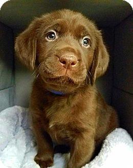 Labrador Retriever Mix Puppy for adoption in Alexandria, Virginia - Lemonade's Passion