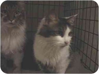 Maine Coon Cat for adoption in Easley, South Carolina - Oreo