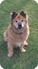 Chow Chow Mix Dog for adoption in Tucson, Arizona - Harley