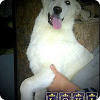 Adopt A Pet :: Loki - Westbank, BC