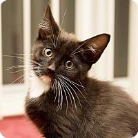 Adopt A Pet :: RockyLBalboa - North Highlands, CA