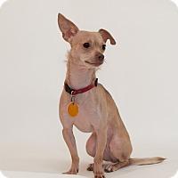 Adopt A Pet :: Lilly - Dayton OH - Dayton, OH