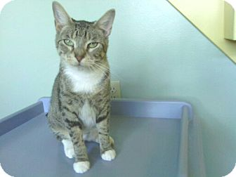 "Domestic Shorthair Cat for adoption in Lake Charles, Louisiana - Josephine (""Josie"")"