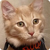 Domestic Shorthair Kitten for adoption in Kerrville, Texas - Spanky
