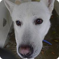 Husky/German Shepherd Dog Mix Dog for adoption in Malibu, California - STRIDER