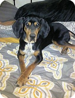 Black and Tan Coonhound Mix Dog for adoption in Cleveland, Ohio - Honor