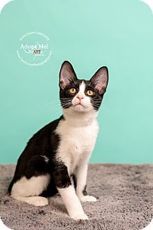 Domestic Shorthair Cat for adoption in Cincinnati, Ohio - Bonnie