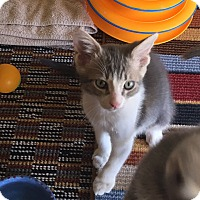 Domestic Shorthair Kitten for adoption in Scottsdale, Arizona - Billy Boss