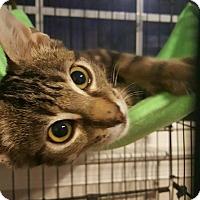 Bengal Kitten for adoption in Virginia Beach, Virginia - Jaxon