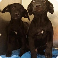 Adopt A Pet :: Lab mix puppies - Willingboro, NJ