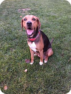 Hound (Unknown Type) Mix Dog for adoption in Overland Park, Kansas - Lady