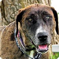 Adopt A Pet :: Brownie - Logan, UT