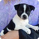 Adopt A Pet :: Dix (3 lb) Video!