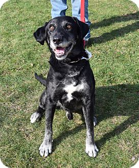 Labrador Retriever Mix Dog for adoption in Lisbon, Ohio - Rhett- SPONSORED!